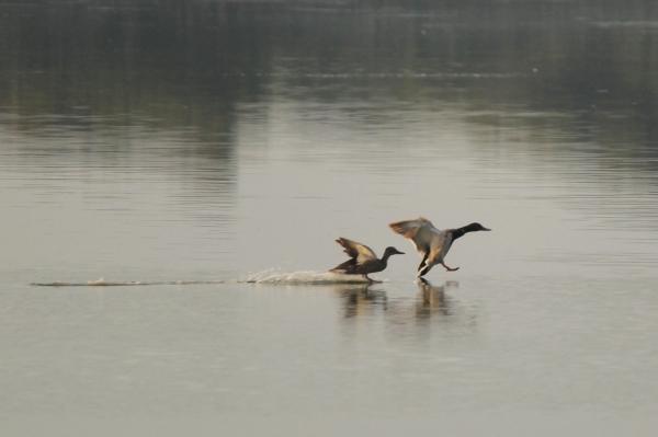 Couple of ducks landing on water