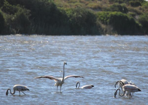 Flamingoes colony