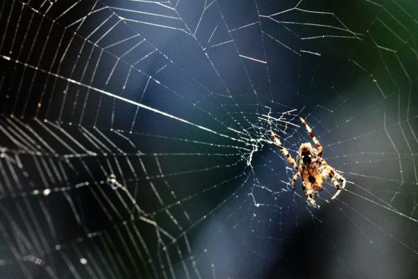Spider on cobweb