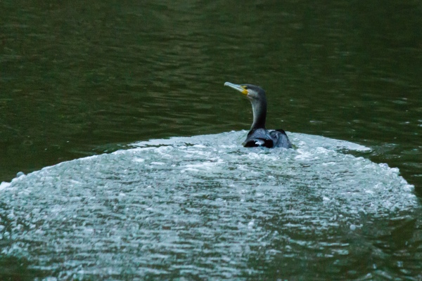 Shag on water