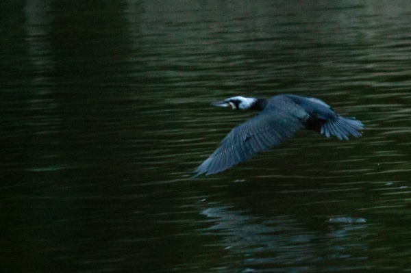 Shag flying over water