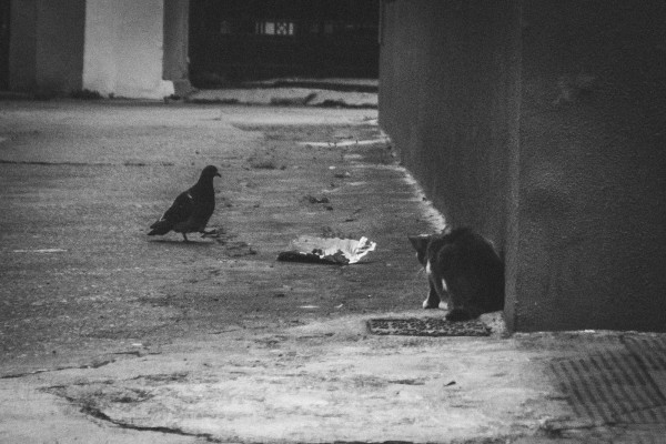 A pigeon and a cat