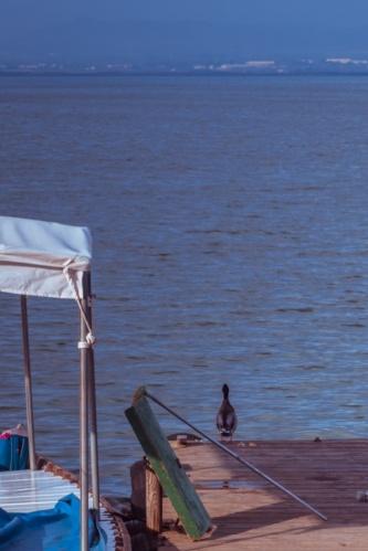 Duck on dock, Albufera lake
