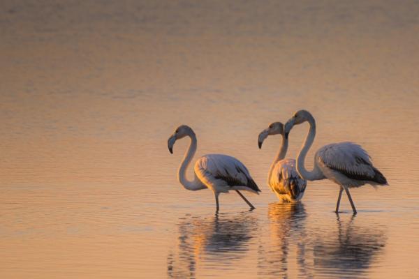 three flamingos